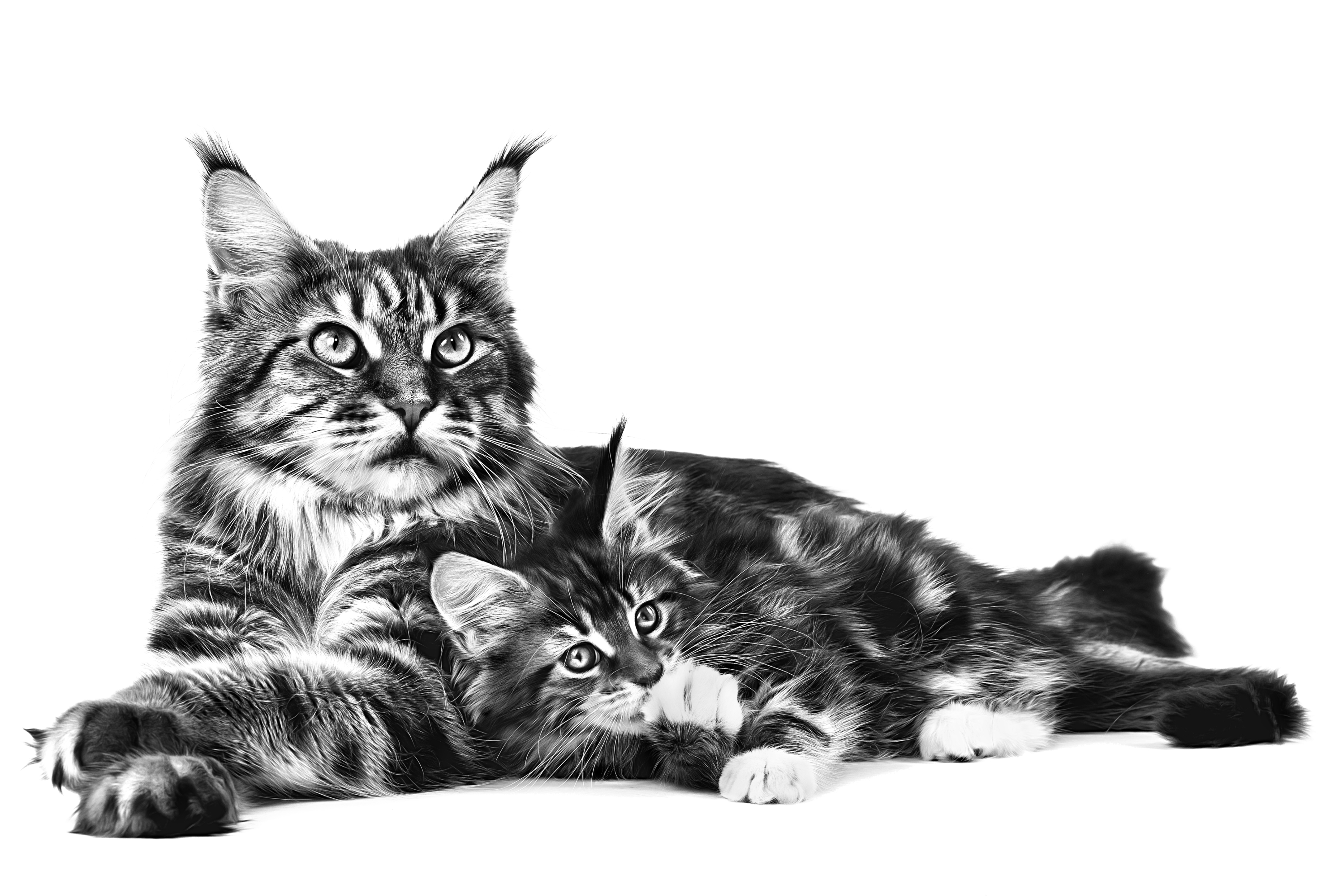 Maine Coone mother and kitten cuddled up together