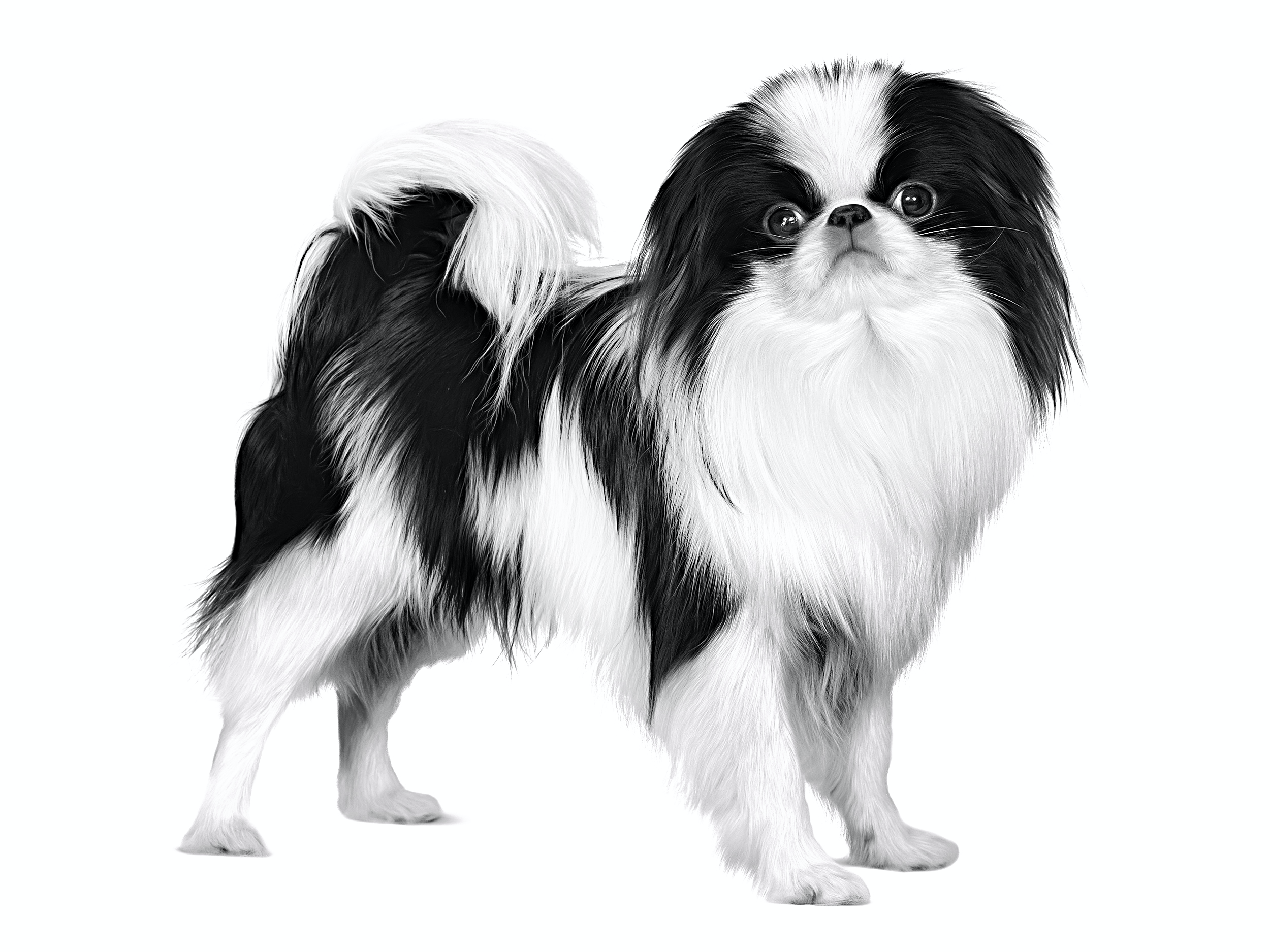Image result for japanese chin