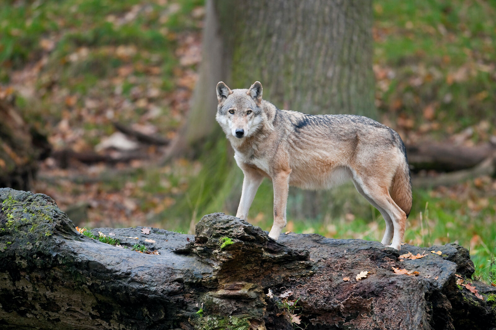 Figure 3. Modern wolves share a common ancestry with the domestic dog, but their hunting range and behavior may have been significantly altered by the threat from humans.