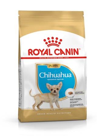 Chiot Chihuahua