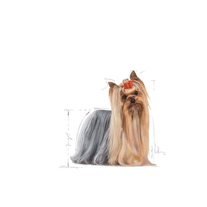 YORKSHIRE TERRIER ADULT-EMBLEMATIC-FACING-BHN20