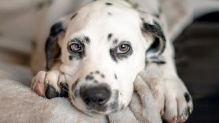 Dalmatian puppy lying down on a soft blanket
