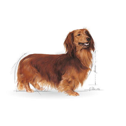 DACHSHUND ILLUSTRATION - BHN Wet