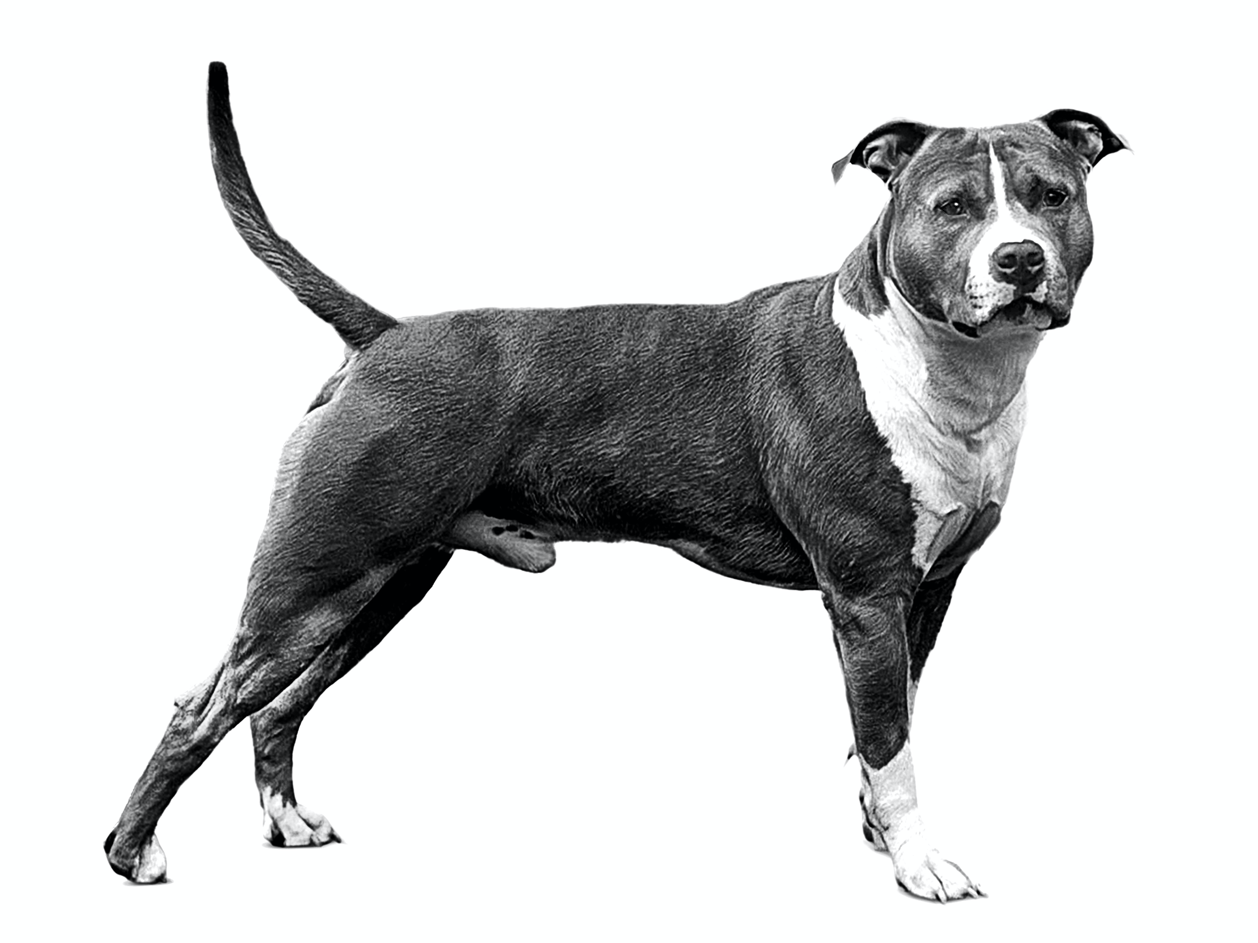 American Staffordshire Terrier - Royal Canin