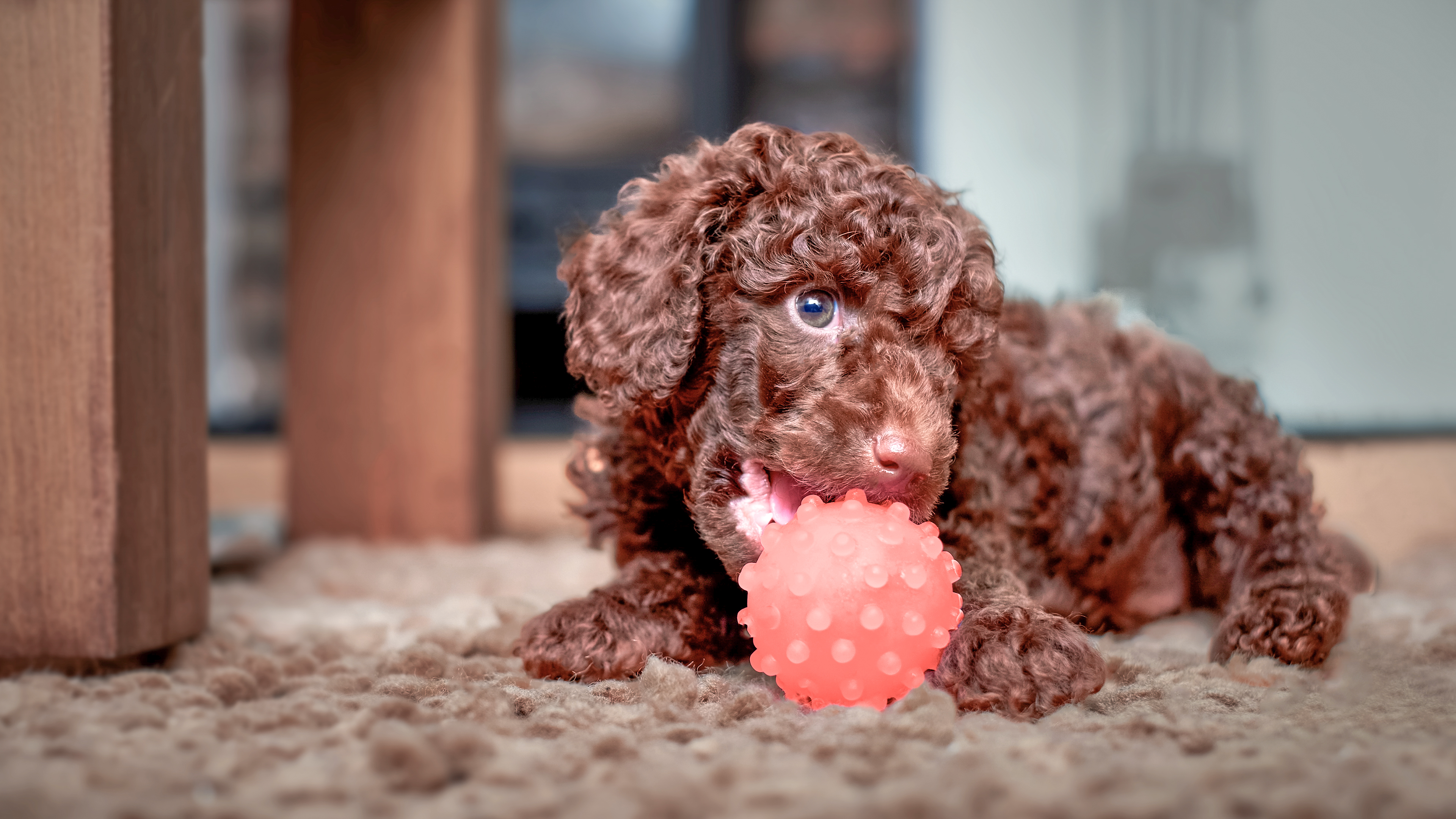Miniature Poodle puppy lying down on a rug playing with a ball