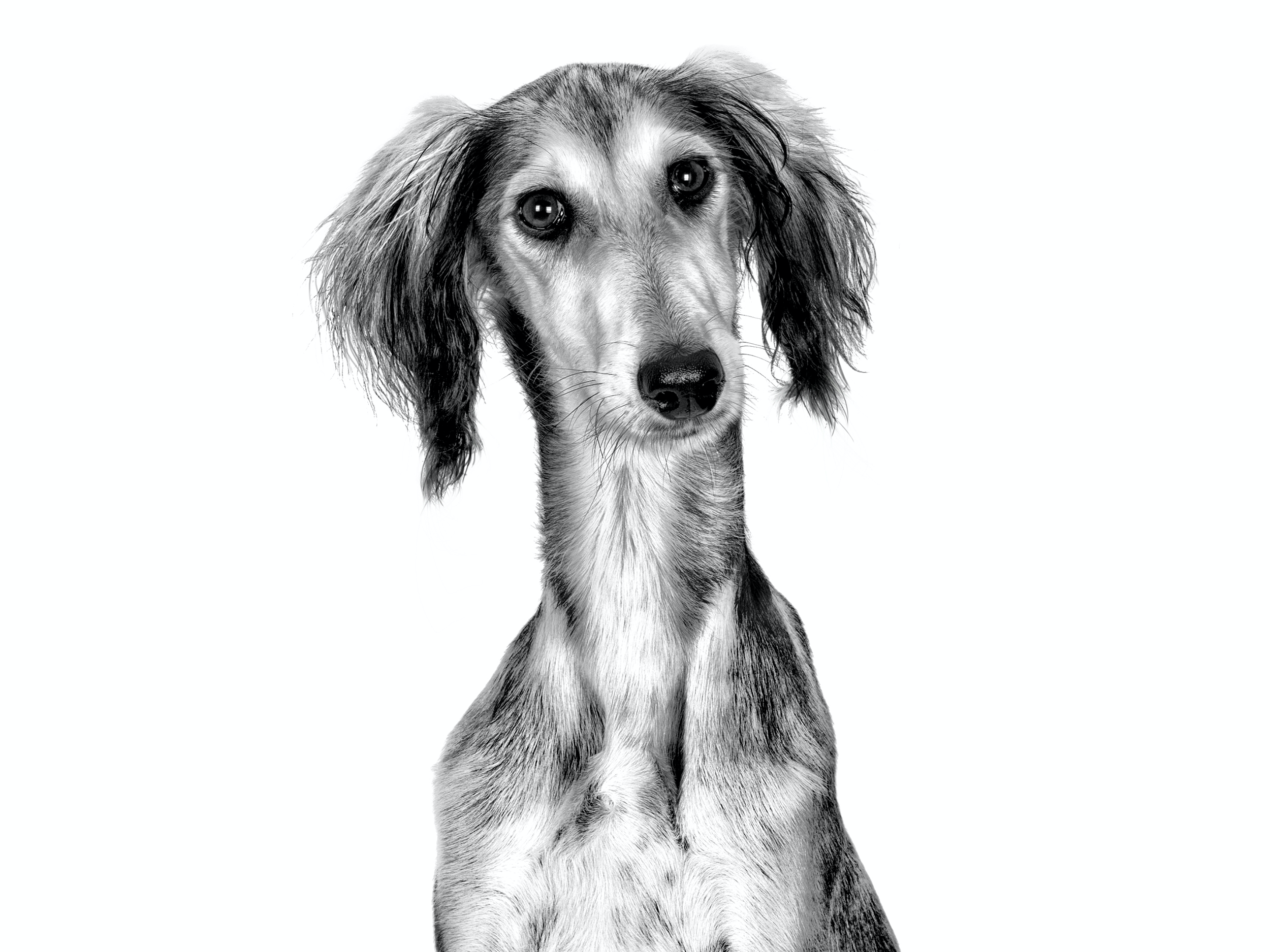 Saluki - Royal Canin