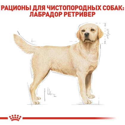 RC-BHN-Labrador_2-RU.jpg