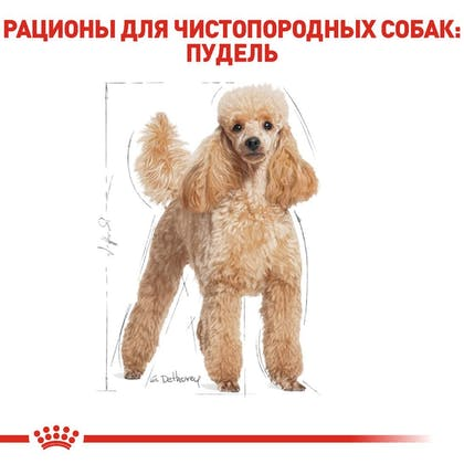 RC-BHN-Poodle_2-RU.jpg