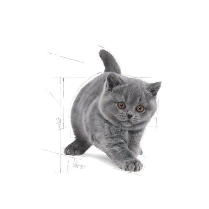 FBN2016_KITTEN BRITISH SHORTHAIR_FACING