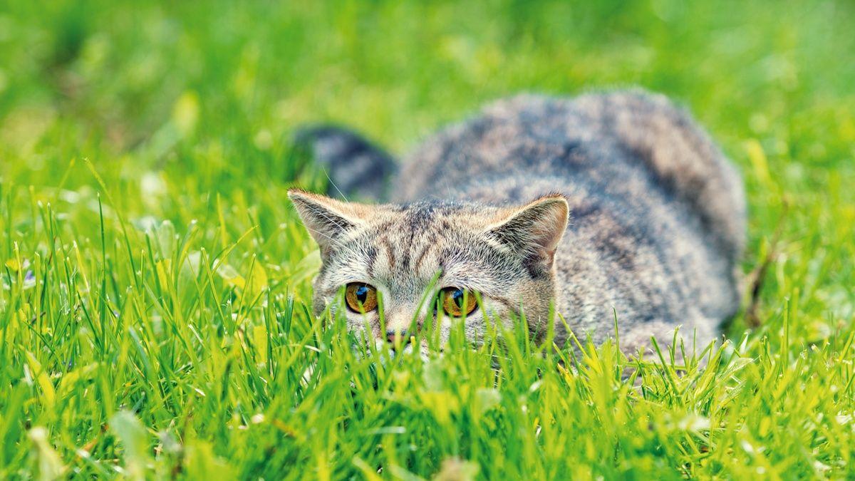 Comportamiento alimentario del gato