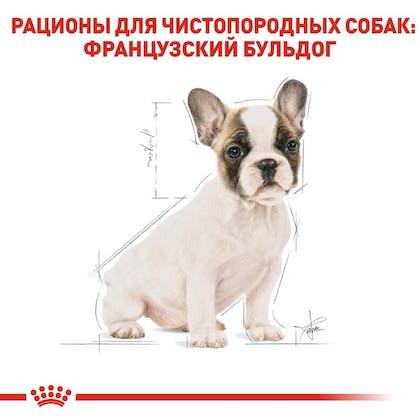 RC-BHN-PuppyFrenchBulldog_5-RU.jpg