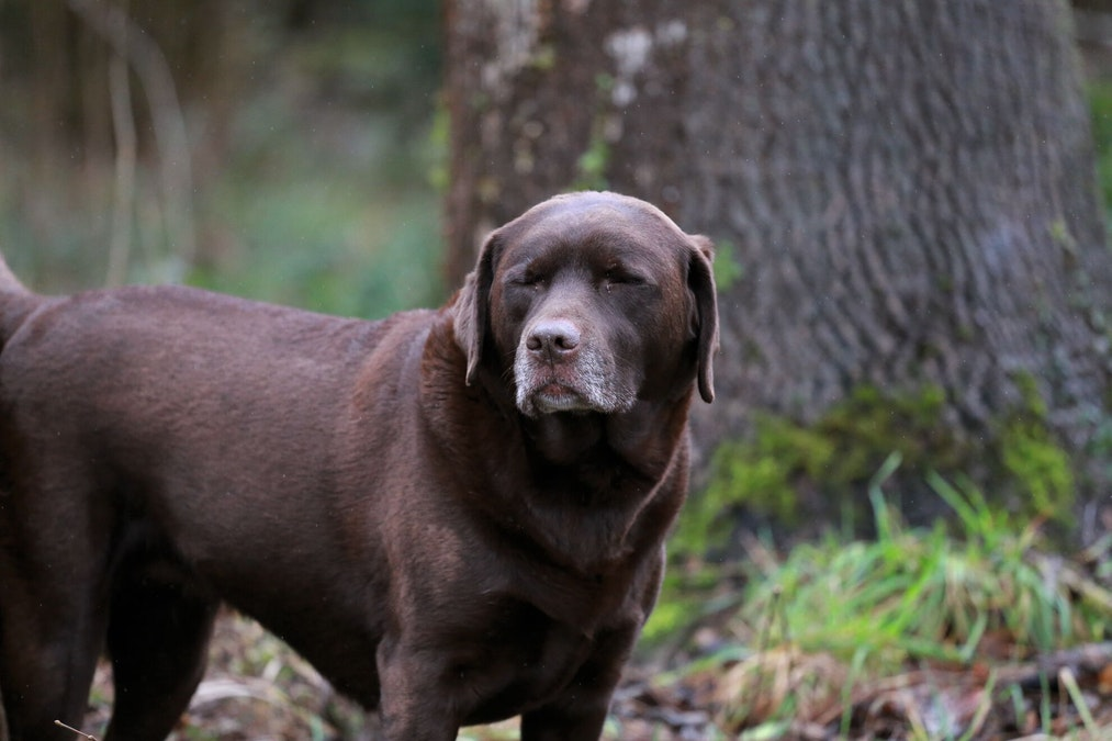 Le vieillissement et le syndrome de fragilité canine