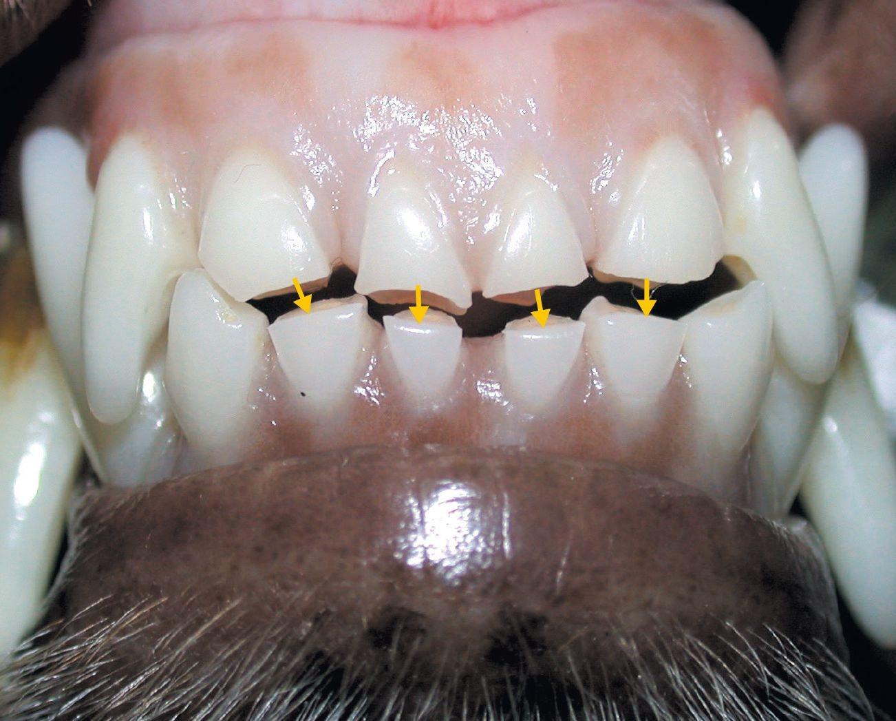 Affections dentaires du chien et du chat