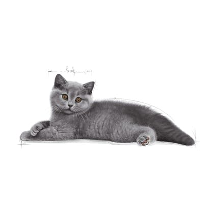 FBN2016_KITTEN BRITISH SHORTHAIR_BOTTOM