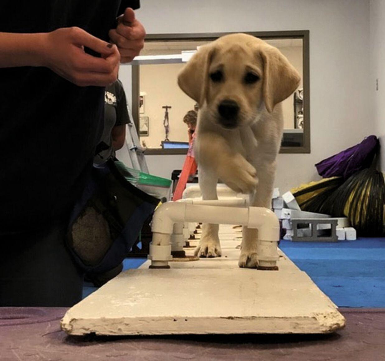Cucciolo di Labrador di 14 settimane che sta imparando ad attraversare un percorso ad ostacoli.