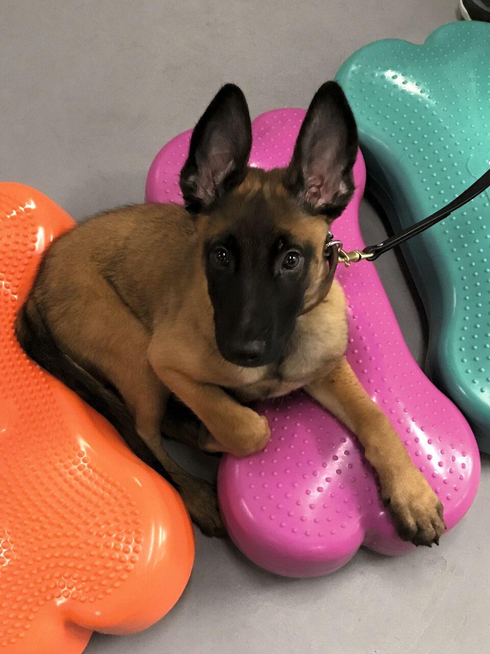 Cucciolo di cane da lavoro militare statunitense che trova piuttosto comodi i dispositivi propriocettivi gonfiabili durante una pausa nell'esercizio.
