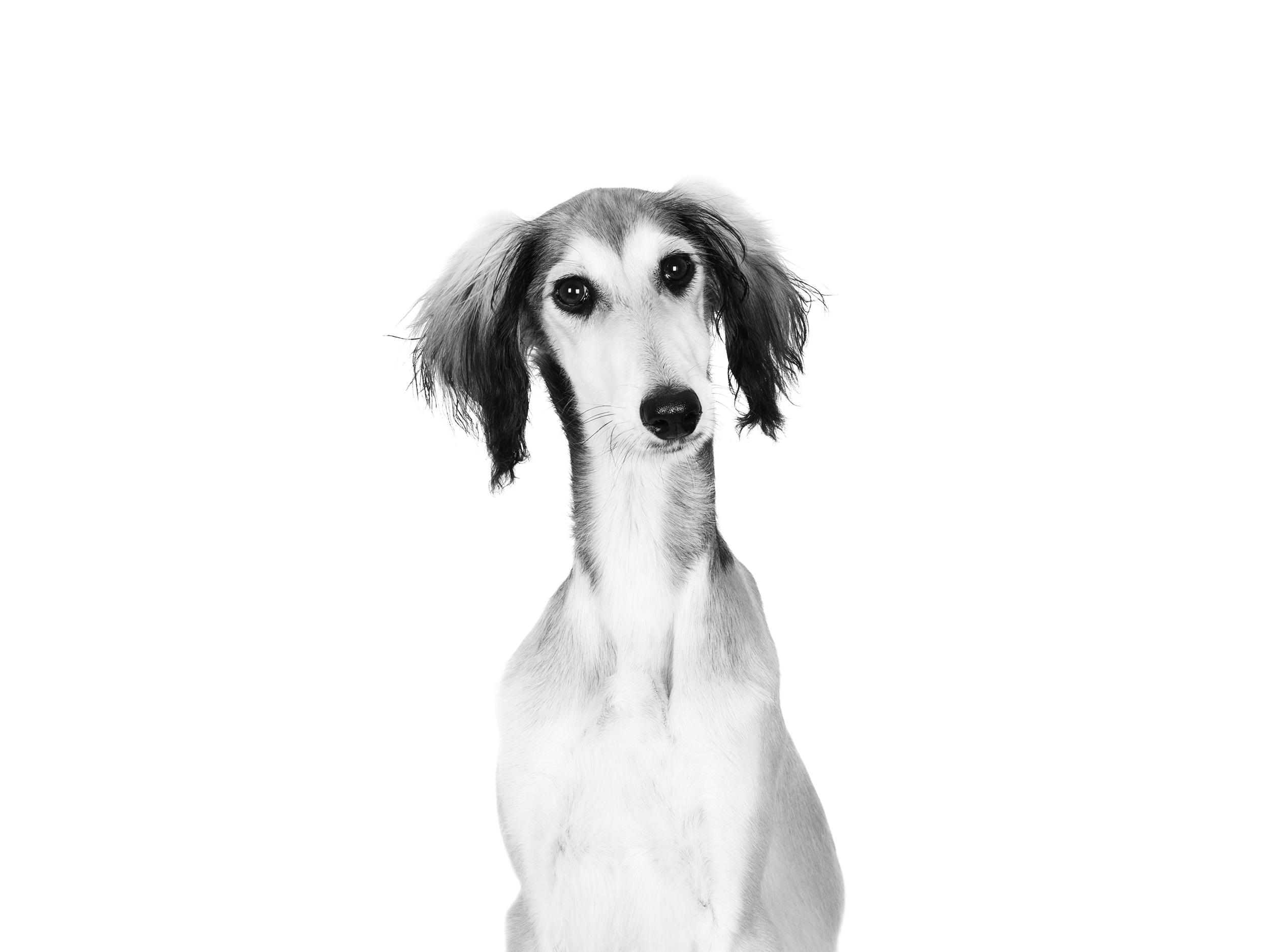 Saluki - Royal Canin