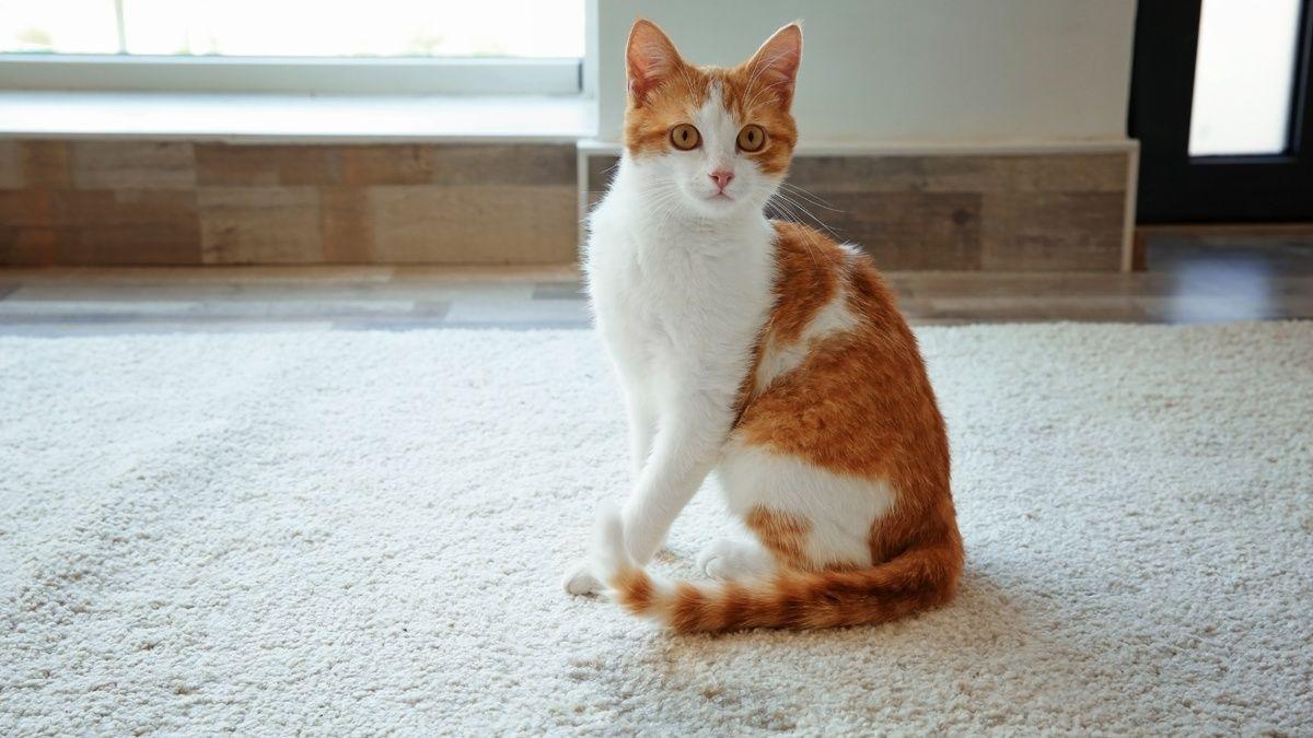 Early screening for feline hematuria