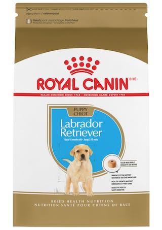 Labrador Retriever Cachorro