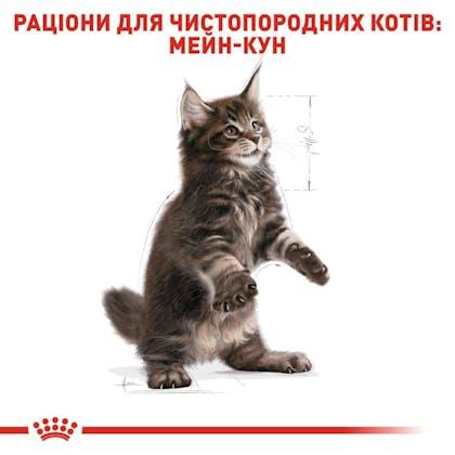RC-FBN-KittenMaineCoon_5-UA.jpg