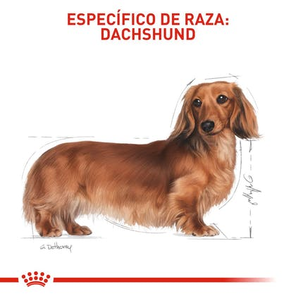 4 DACHSHUND COLOMBIA