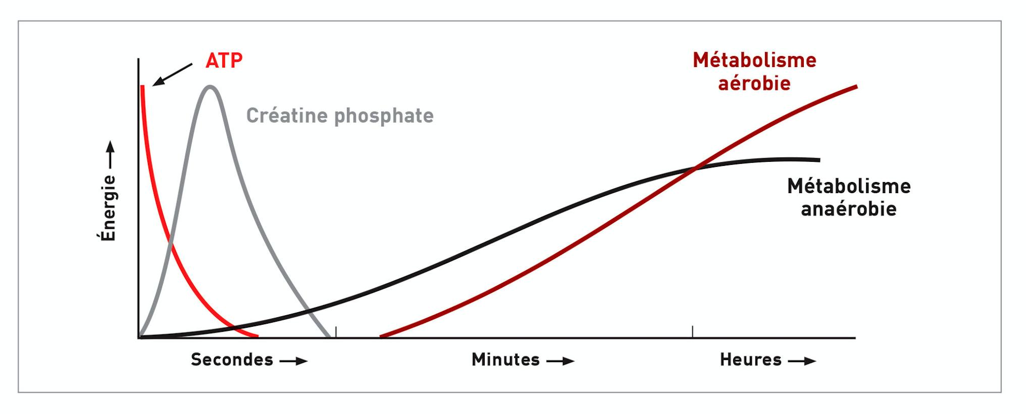 Graphique montrant les différentes sources d'énergie utilisées au cours du temps pendant l'exercice.