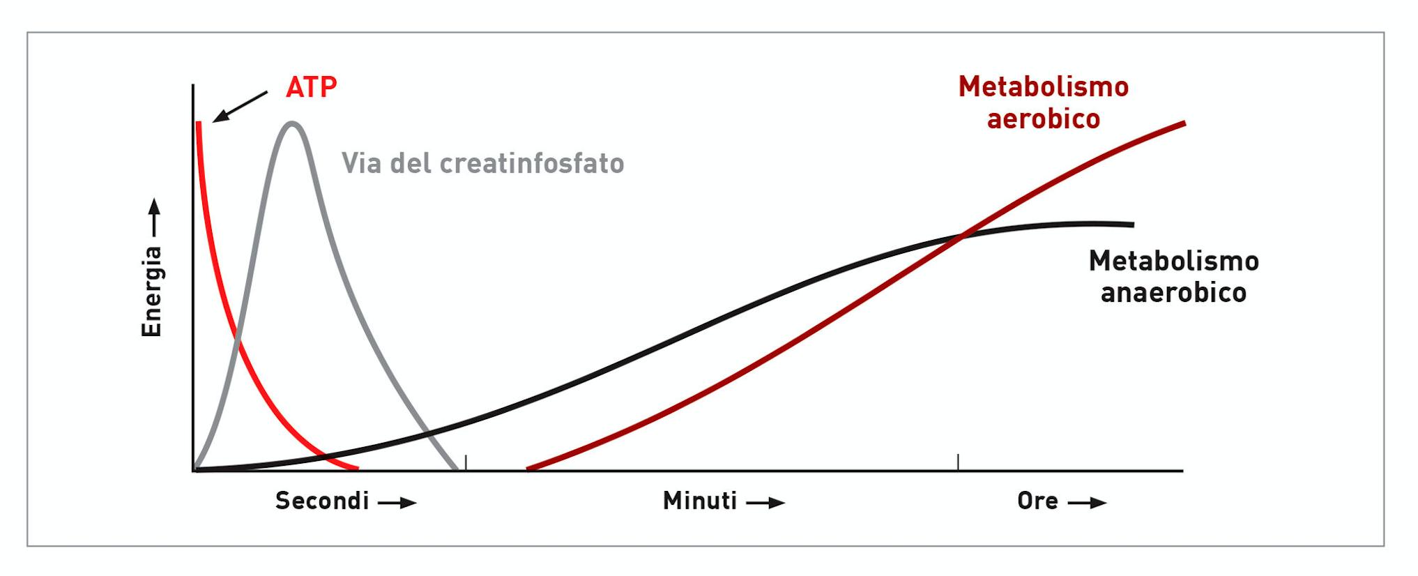Grafico che mostra le varie fonti di energia utilizzate nel tempo durante l'esercizio fisico.