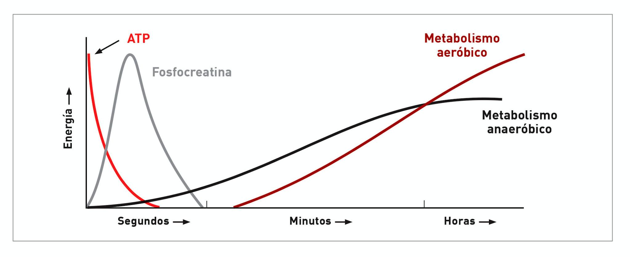 Diagrama mostrando las diferentes fuentes de energía a lo largo del tiempo durante el ejercicio.
