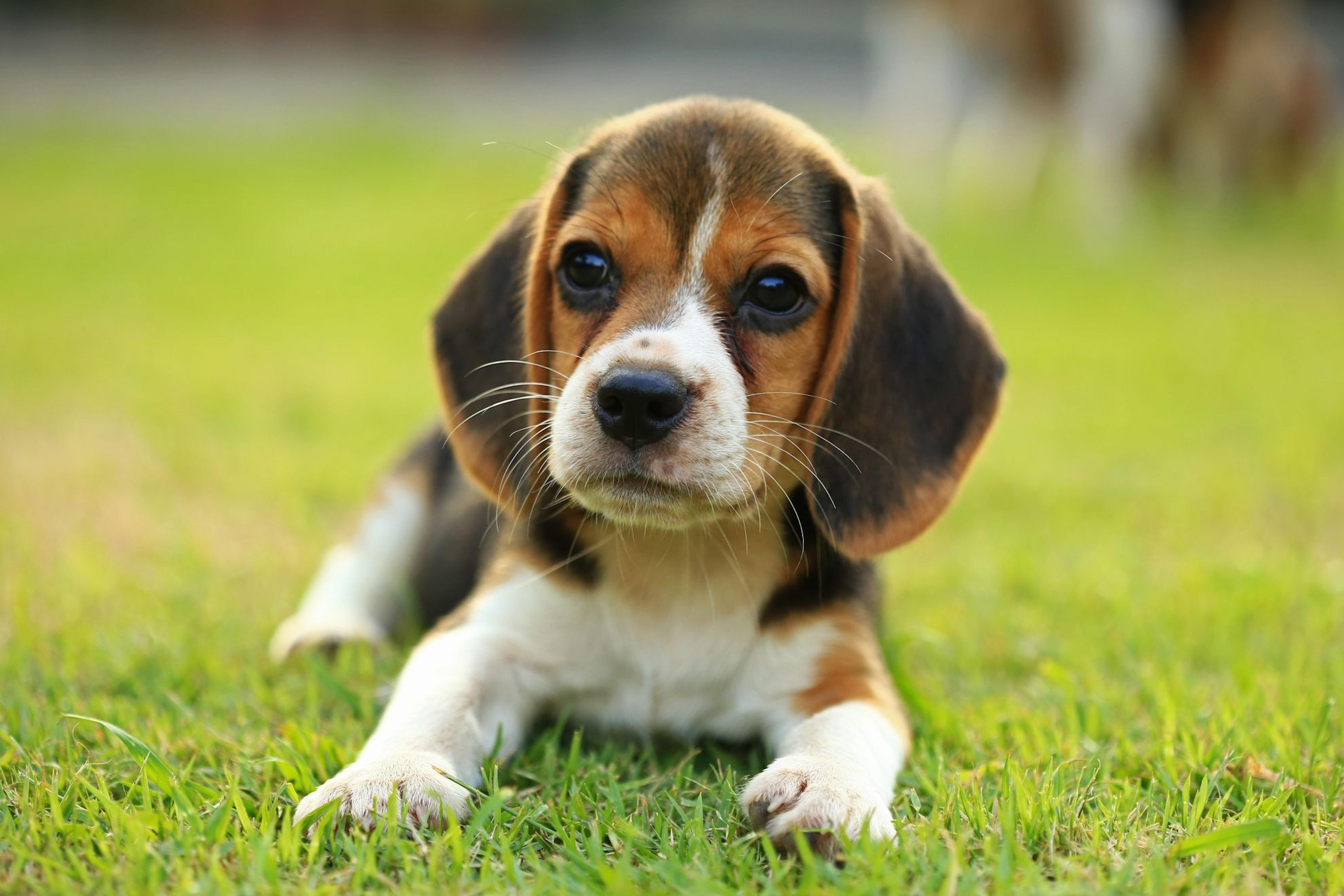 Weaning diarrhea in puppies
