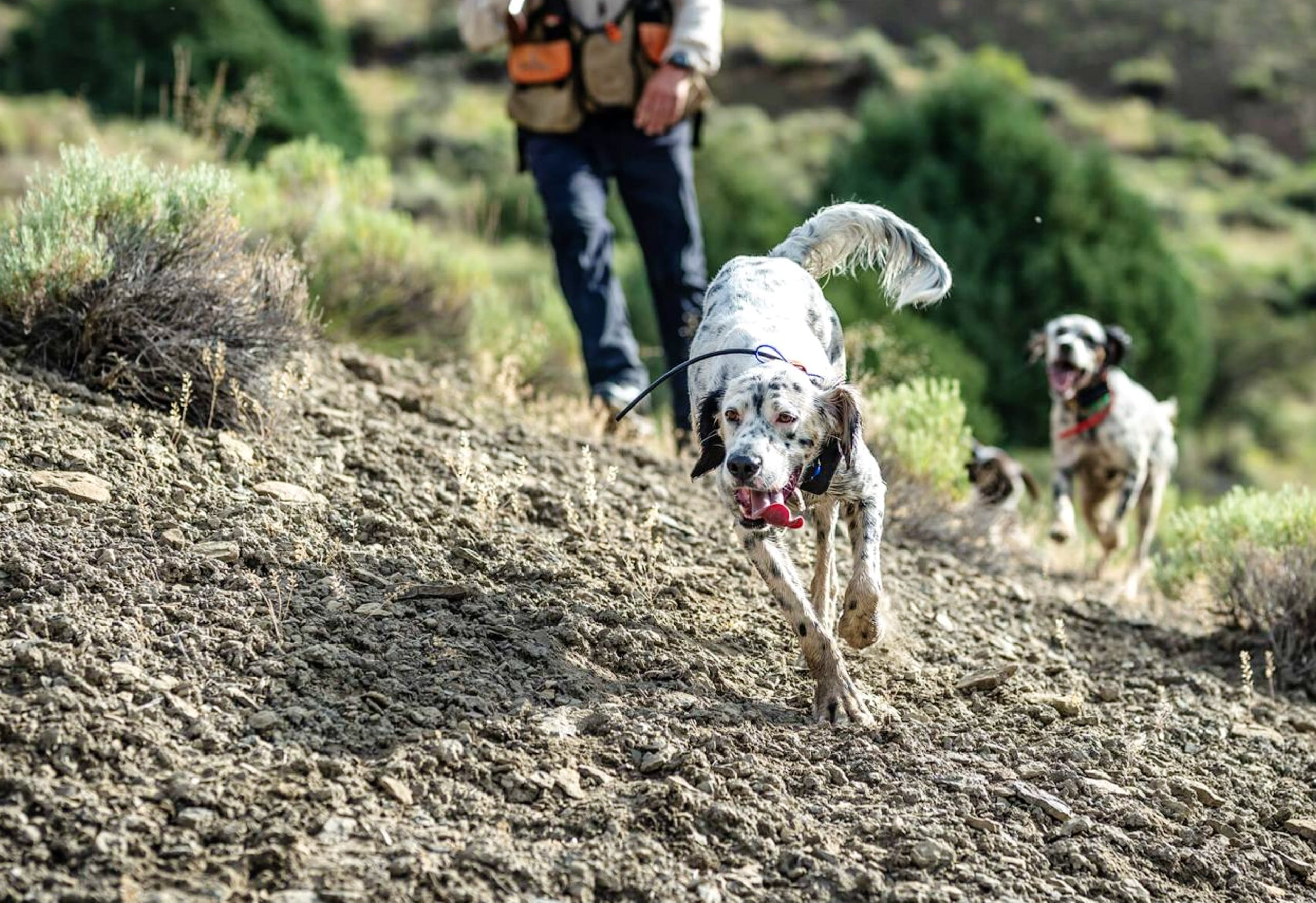 English Setters running uphill on a rocky terrain during a hunt
