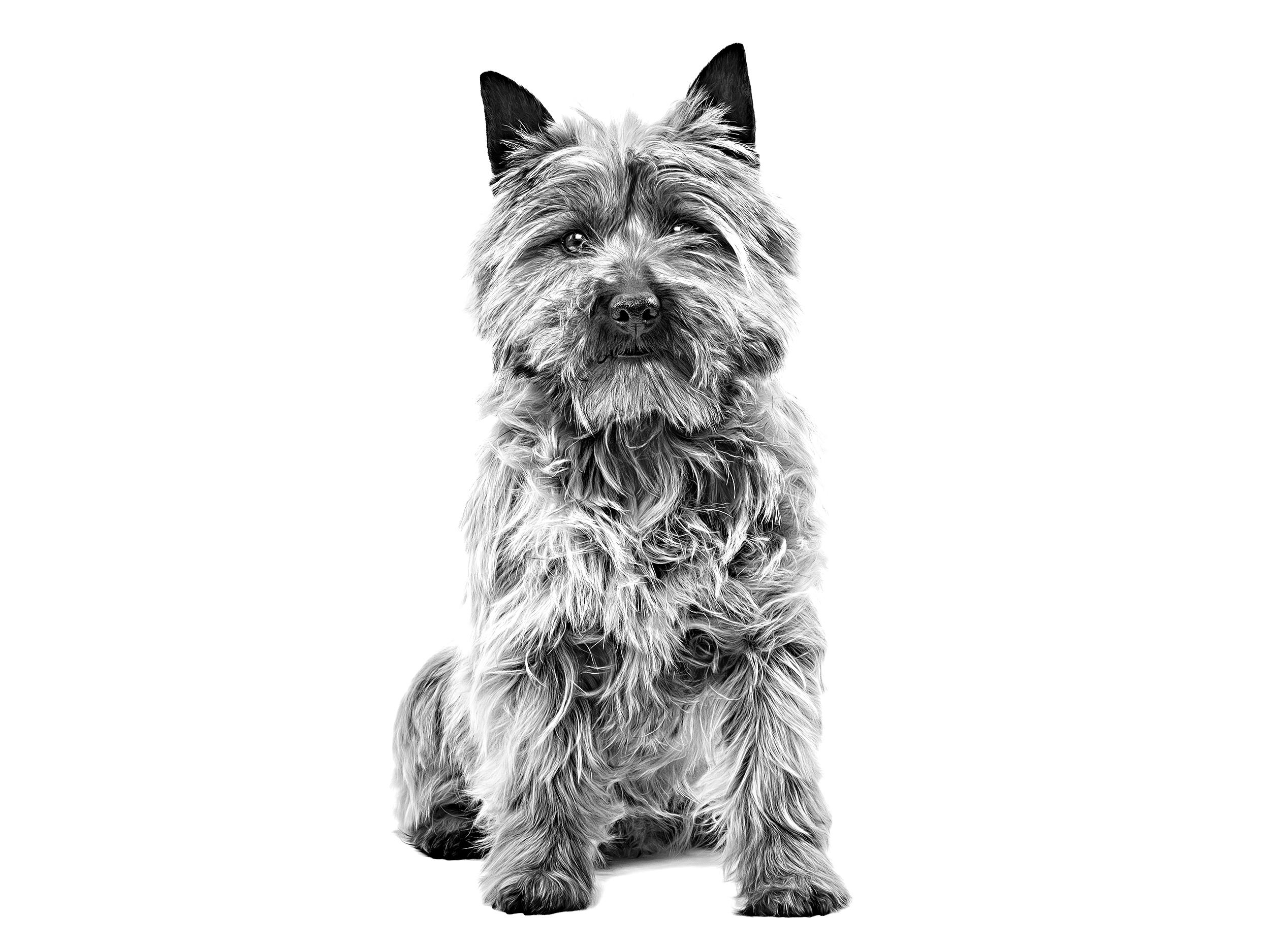 Cairn Terrier Royal Canin