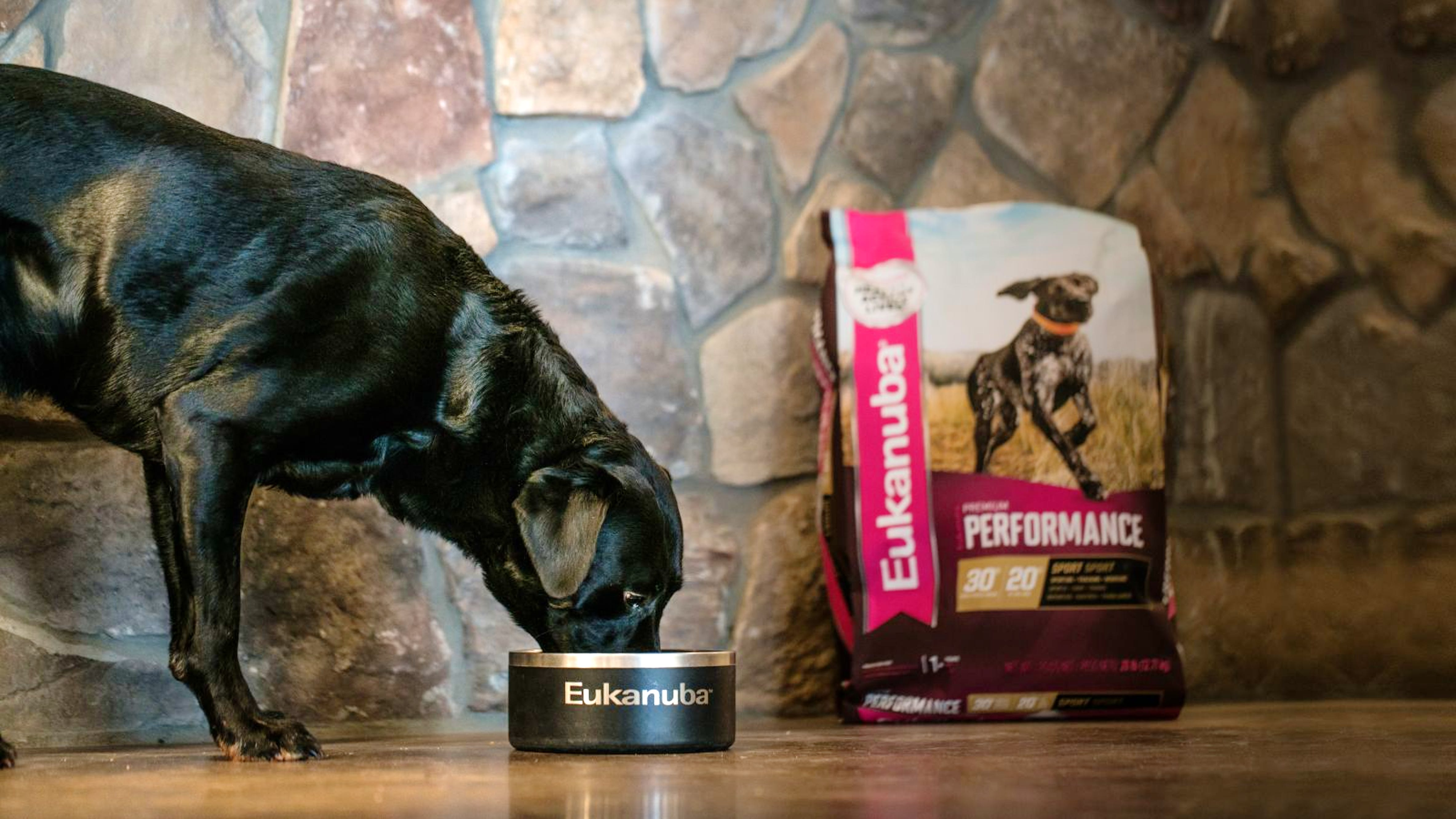 Black Labrador eating Eukanuba Premium Performance
