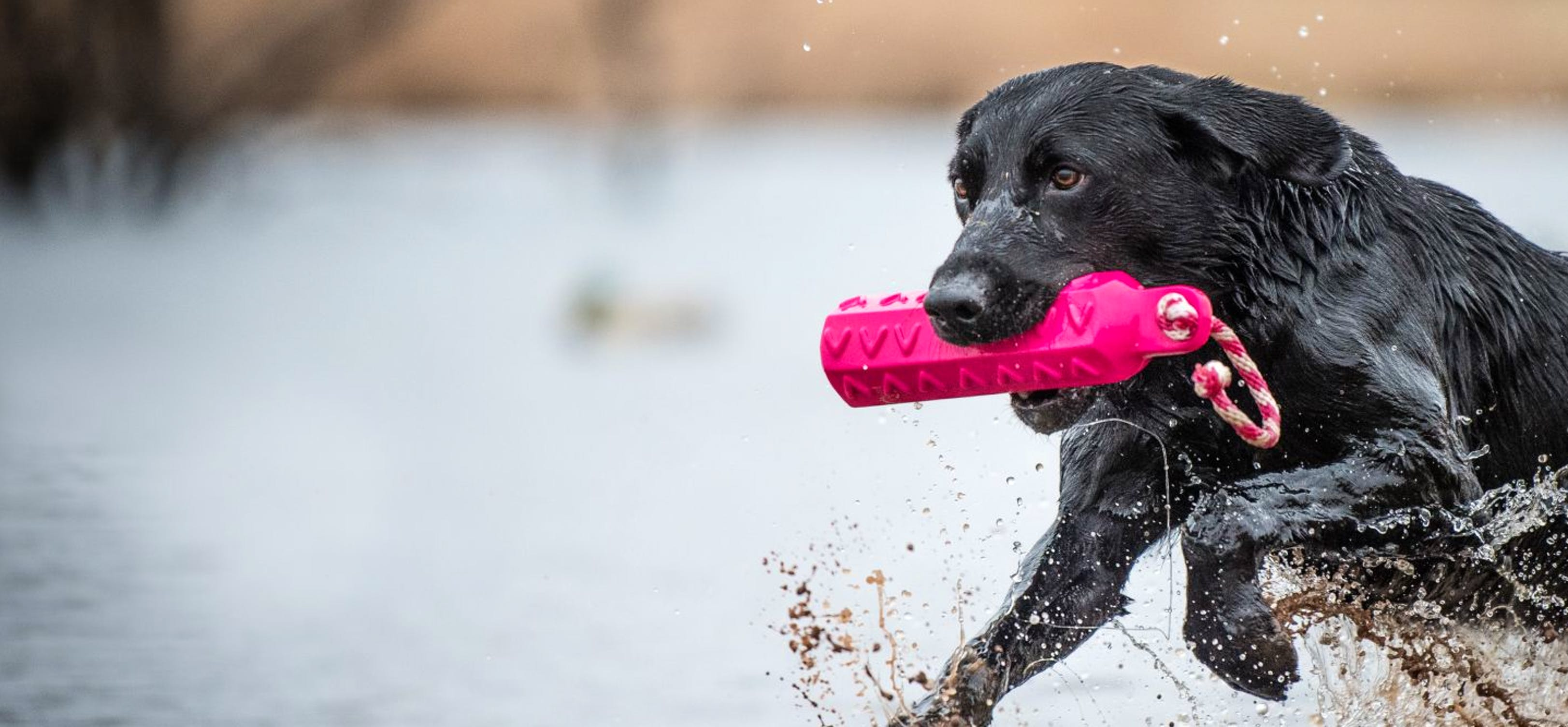 Black Labrador running in water with a pink training lure in his mouth