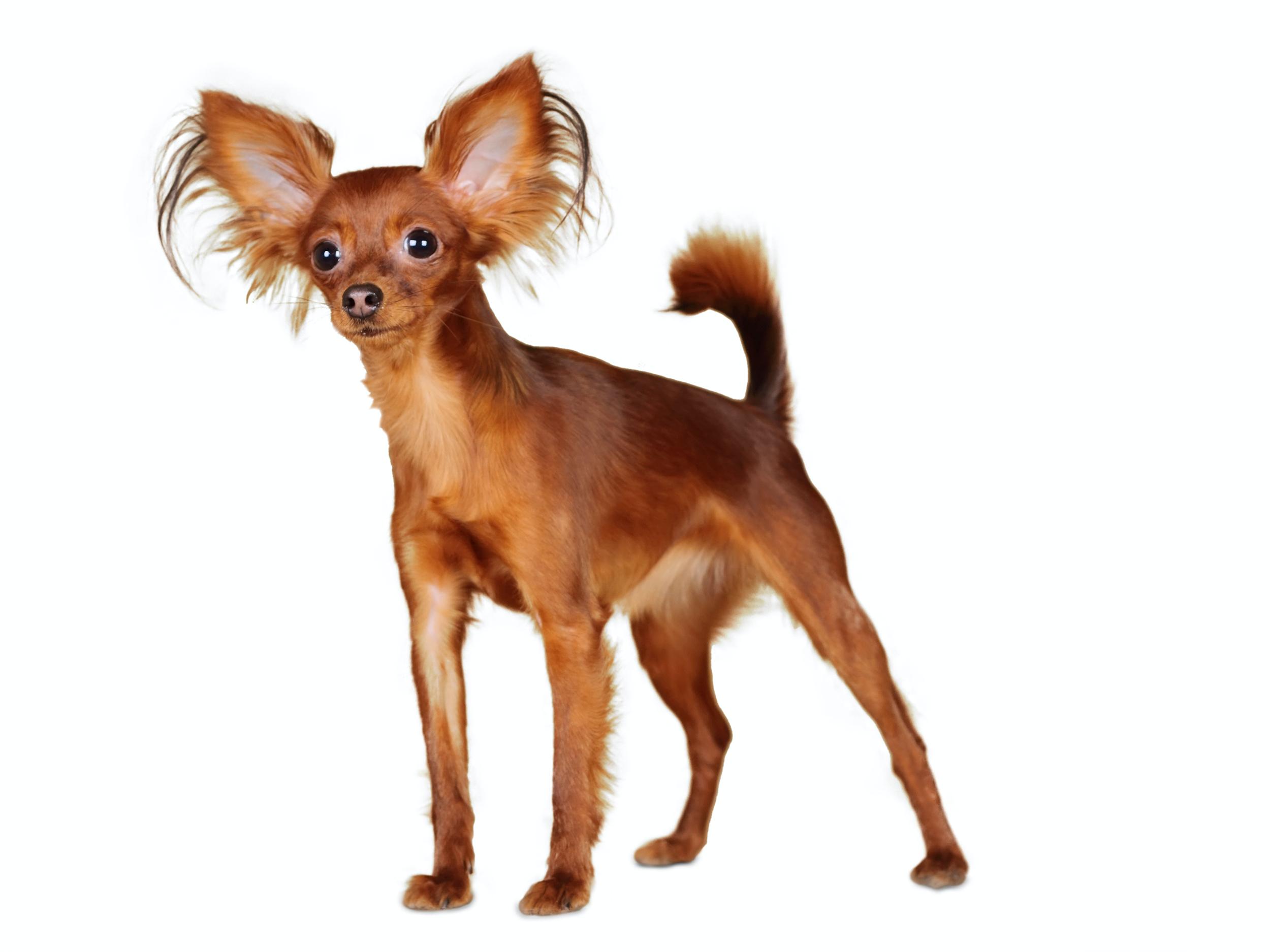 Dog Breed Library - Royal Canin