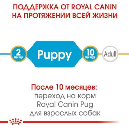 HI_BHN_PUG_PUPPY_ru_1