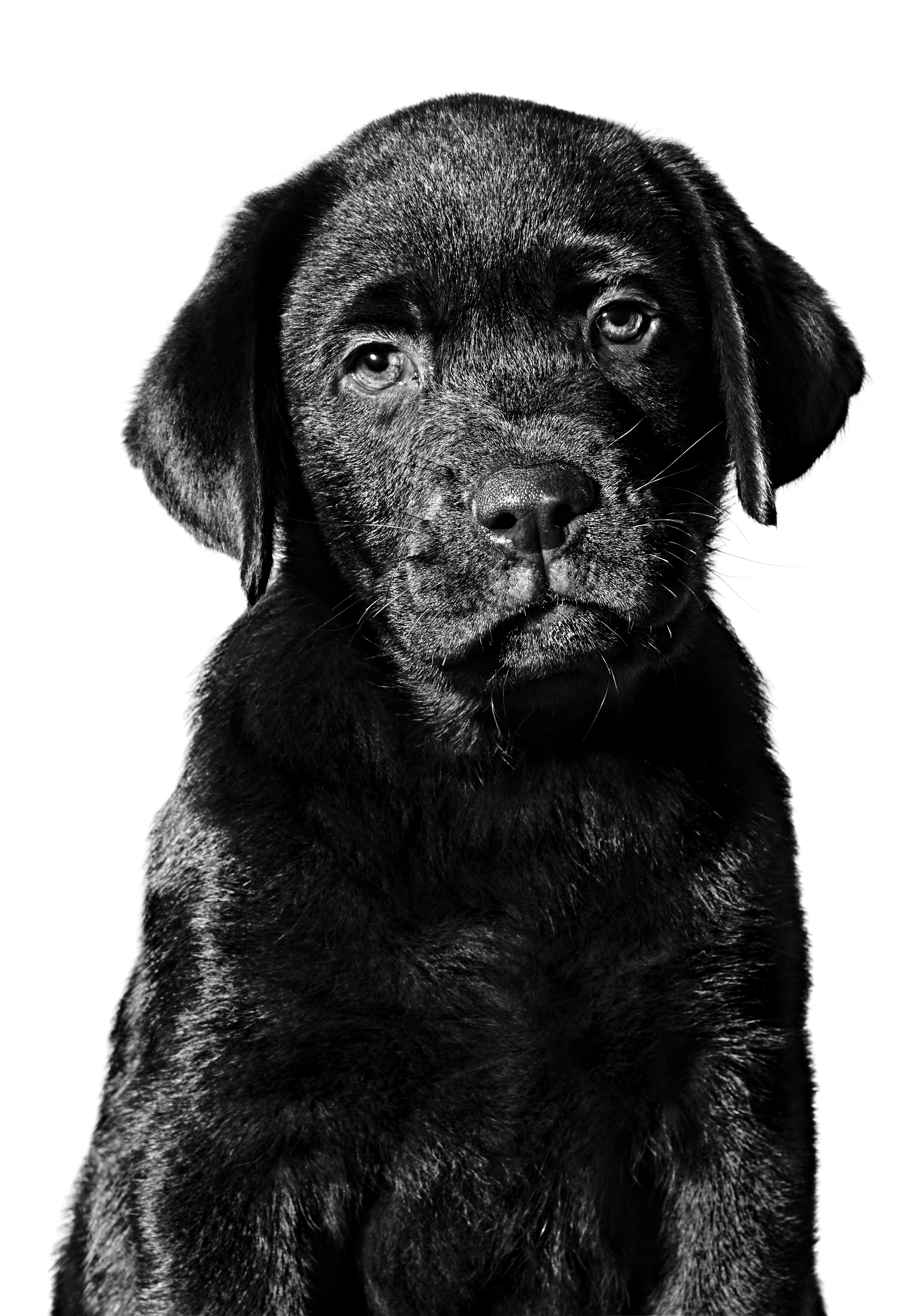 Chocolate Labrador Retriever puppy in black and white on a white background