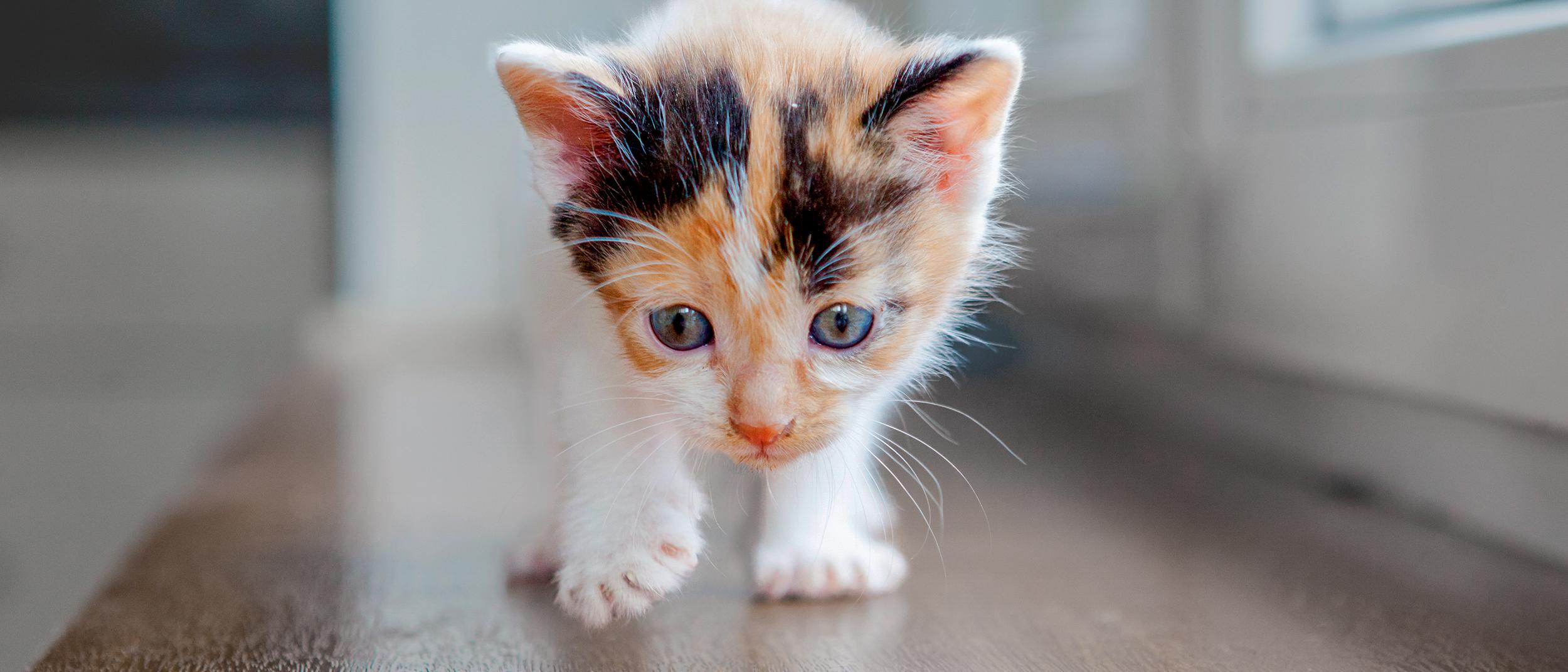 síntomas de gato para parásitos