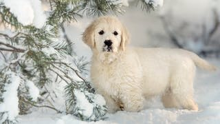 Golden Retriever puppy standing under a tree in snow