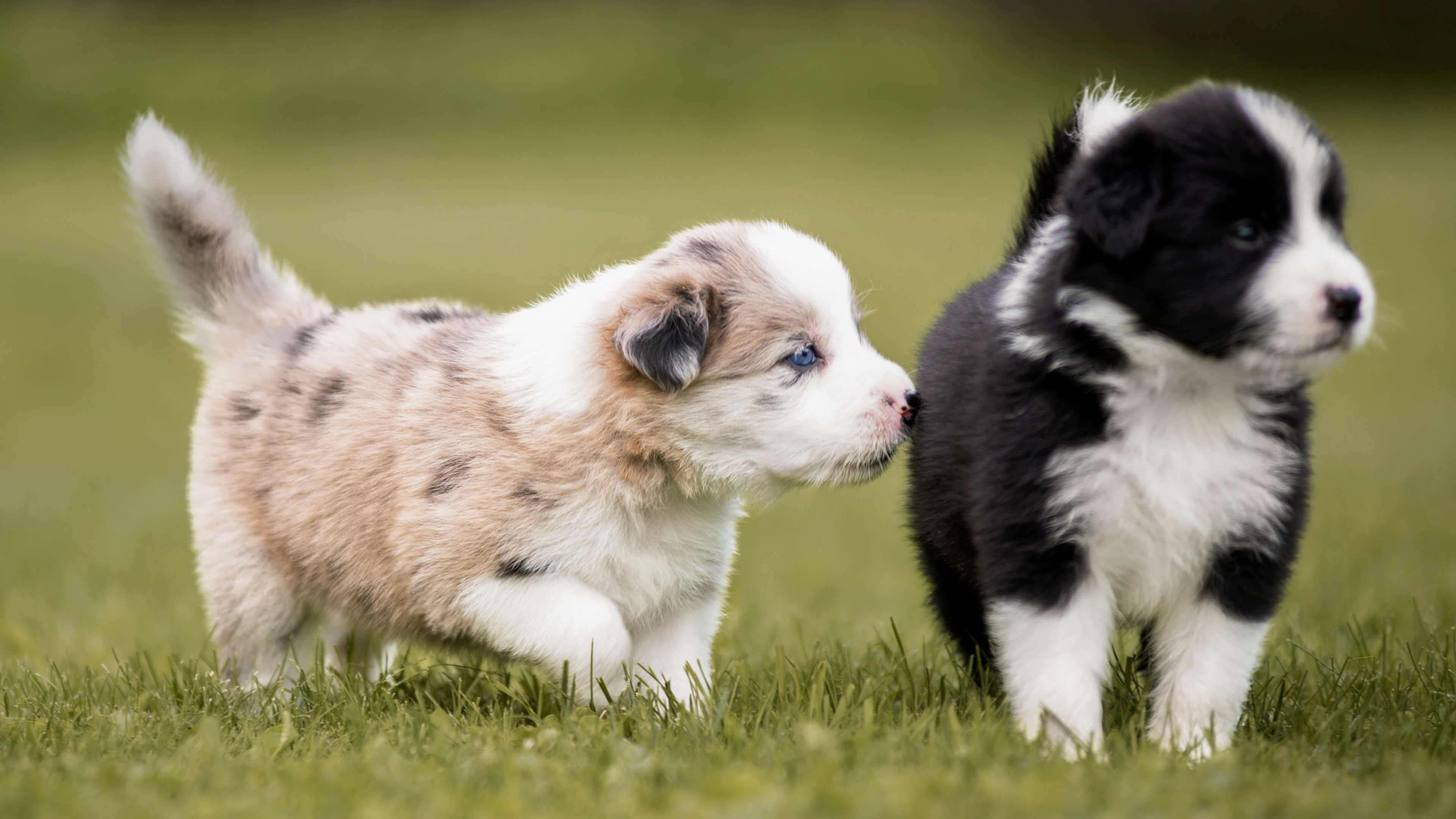 Border Collie puppies walking together outdoors in a garden