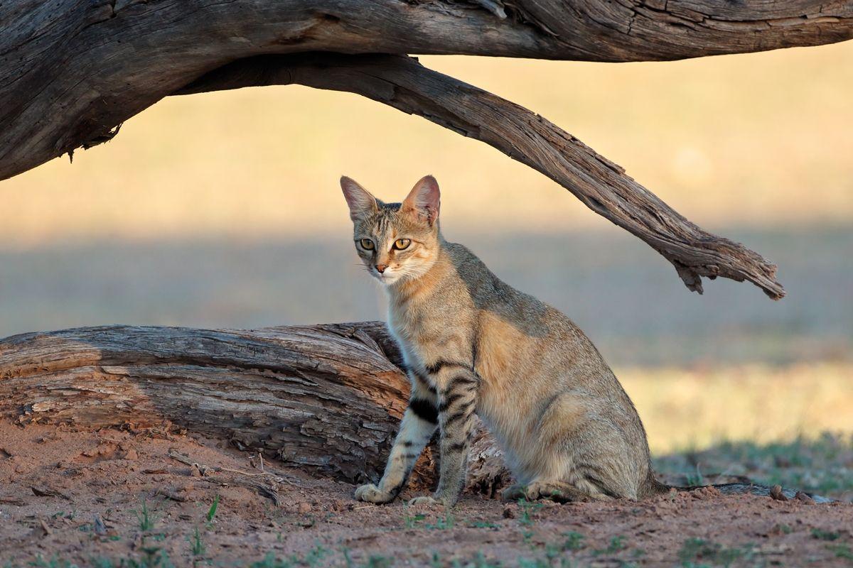 Man vermutet, dass die Falbkatze oder Afrikanische Wildkatze (Felis silvestris lybica) ihre Überlebensfähigkeit unter dürreartigen Bedingungen an unsere heutigen Hauskatzen weitergegeben hat.