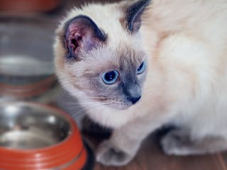 Siamese kitten sat next to a feeding bowl indoors