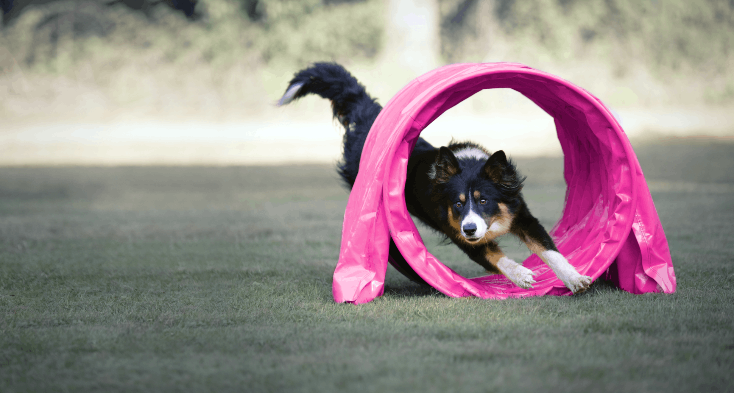 Black Sheepdog  coming out of a pink agility tunnel
