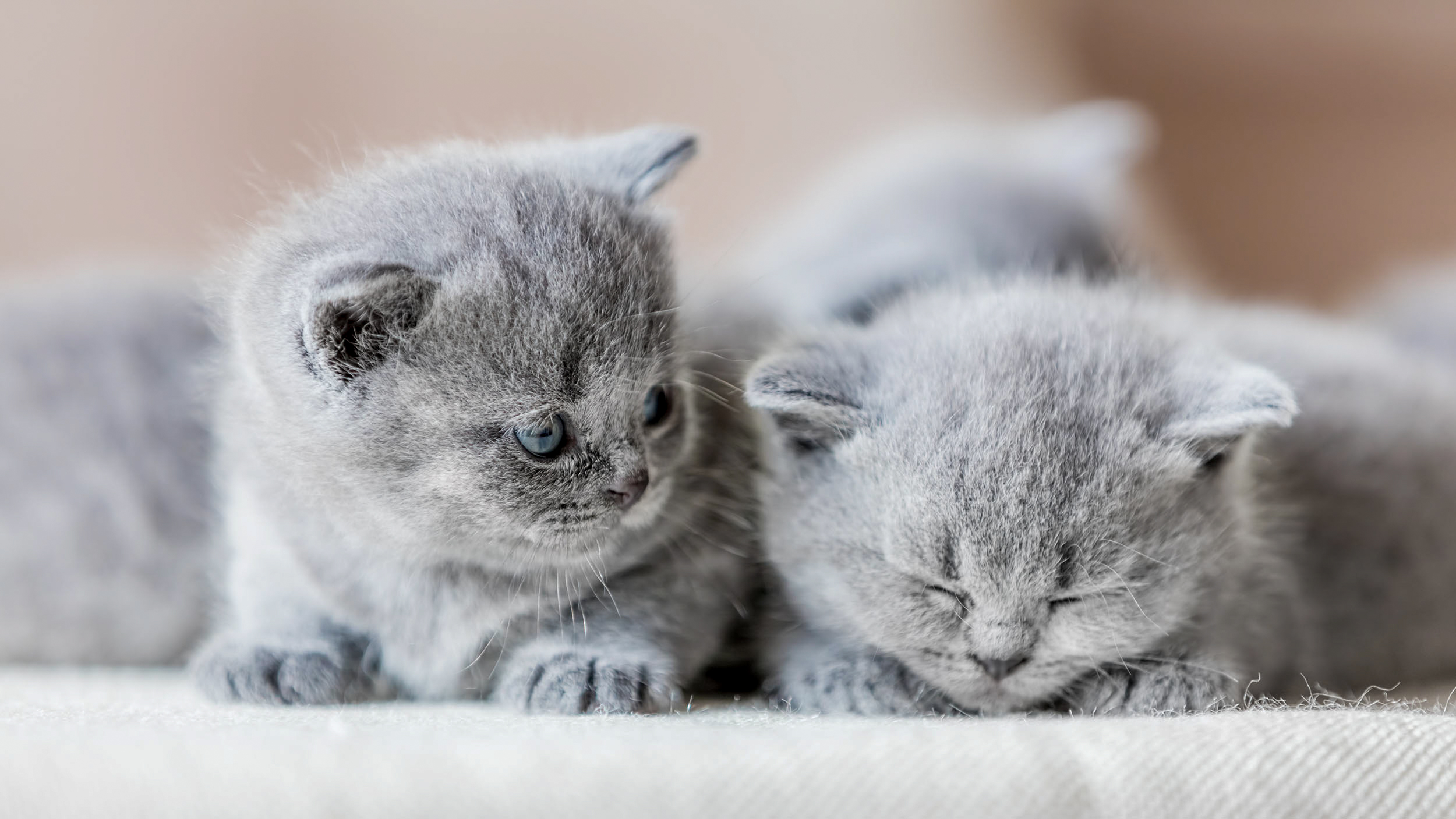 British shorthair kittens lying together indoors