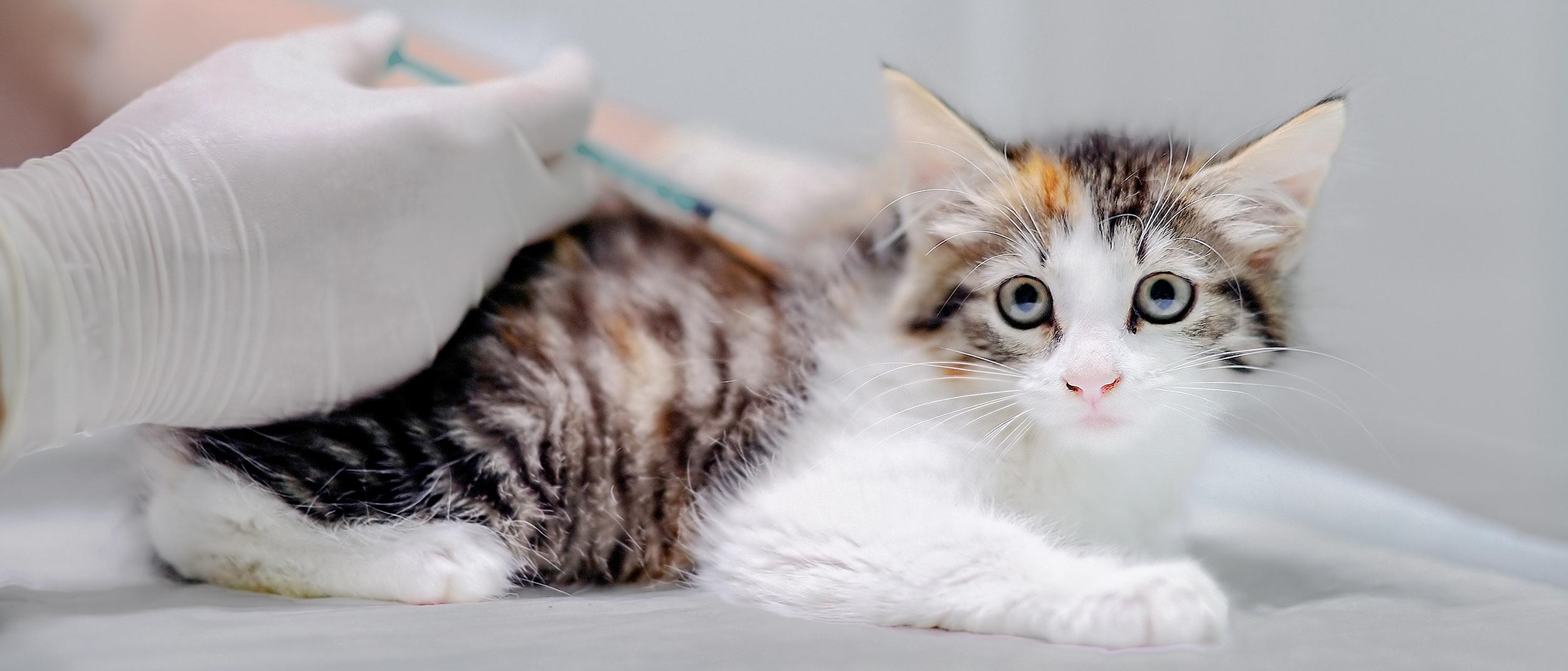 как проявляется коронавирус у котят