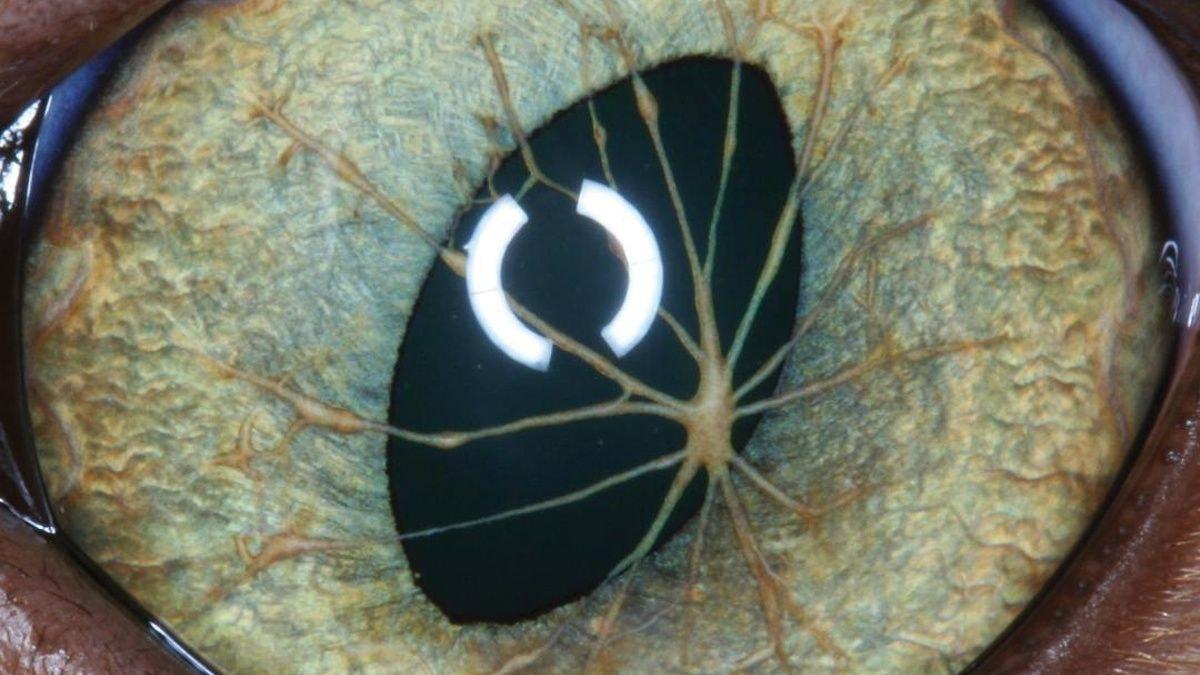 Distúrbios oftalmológicos em gatos filhotes e adultos jovens