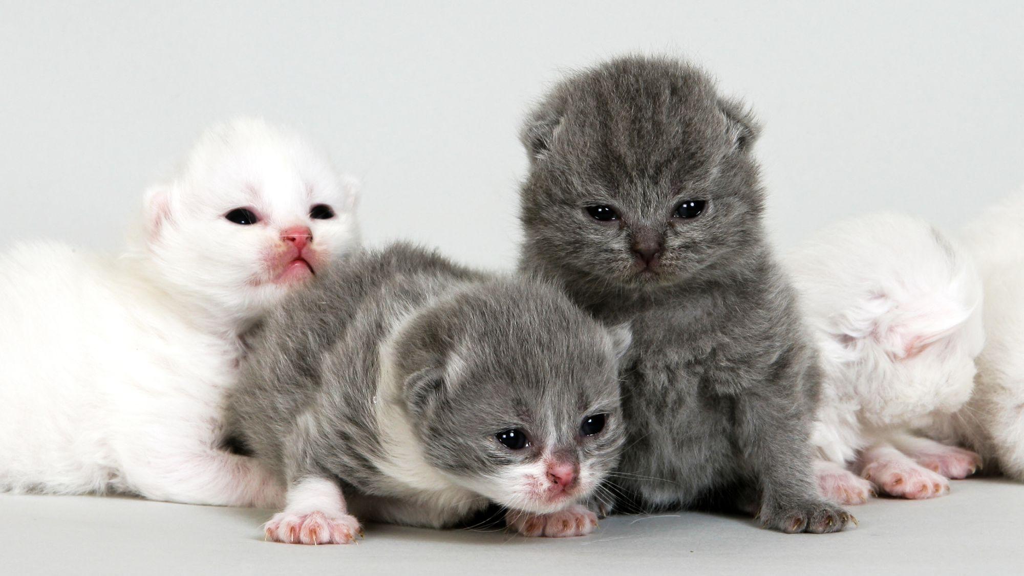 함께 앉아 있는 브리티시 숏헤어 새끼 고양이