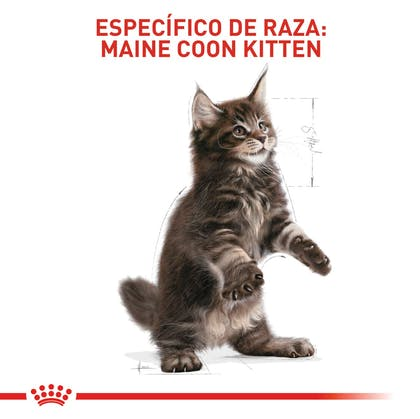 MAINE COON KITTEN COLOMBIA 5
