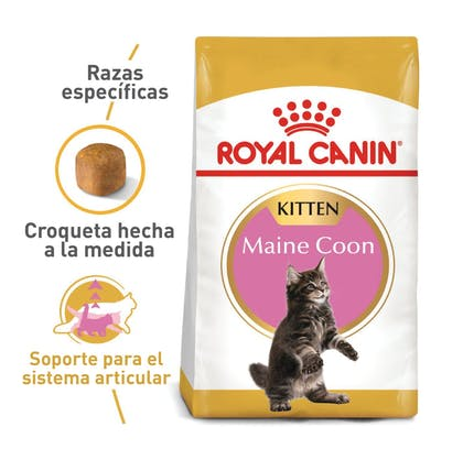 MAINE COON KITTEN COLOMBIA 1