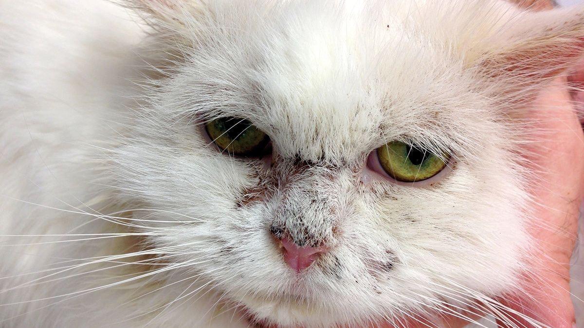 Pemphigus foliaceus in feline patients