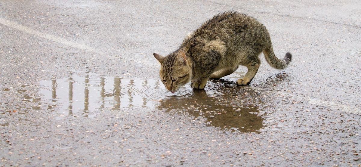 Viele Katzen scheinen es zu lieben, Regenwasser aus Pfützen zu trinken. Wenn Katzen die Wahlmöglichkeit haben, bevorzugen sie Wasserstellen im Freien geg